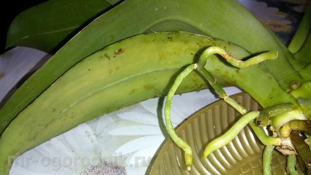Поврежденный нижний лист орхидеи