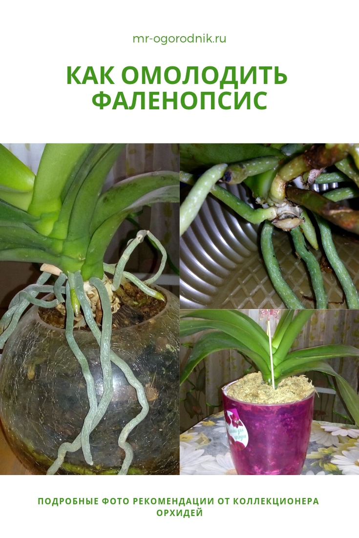 Фото рекомендации по омоложению орхидеи фаленопсис
