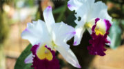 Орхидея каттлея - уход в домашних условиях, фото цветка