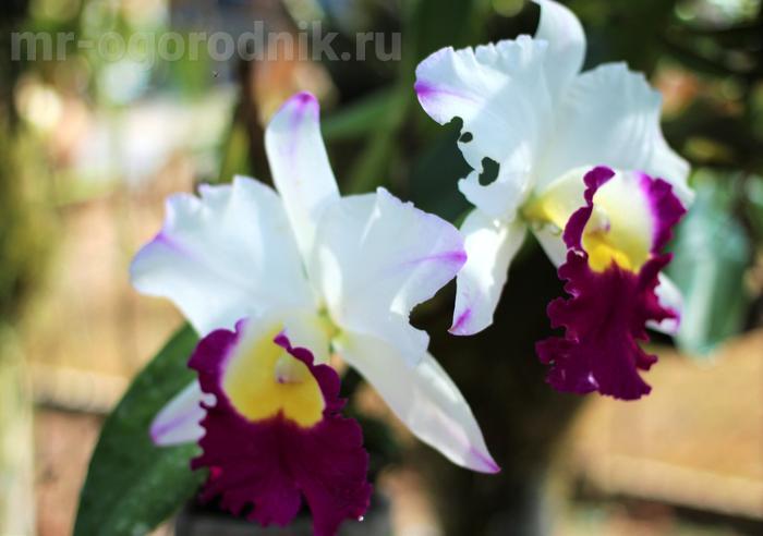 Орхидея каттлея - уход и выращивание