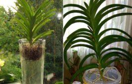 Пересадка орхидеи ванда
