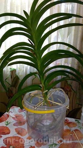 Орхидея ванда после пересадки