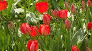 Подкормка тюльпанов весной, летом и осенью