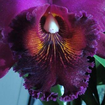 Цветок каттлеии крупным планом