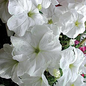 Петуния Гибридная ампельная Серия «Лавина» f1 белая