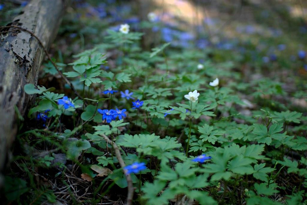 Hepatica nobilis фото