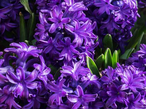 Hyacinth Aqua фото