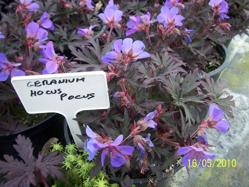 Geranium pratense фото