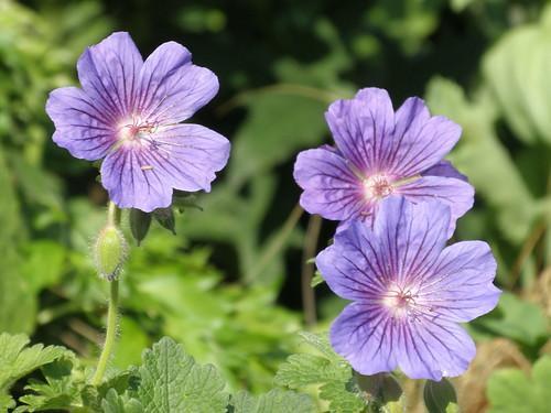 Geranium magnificum фото
