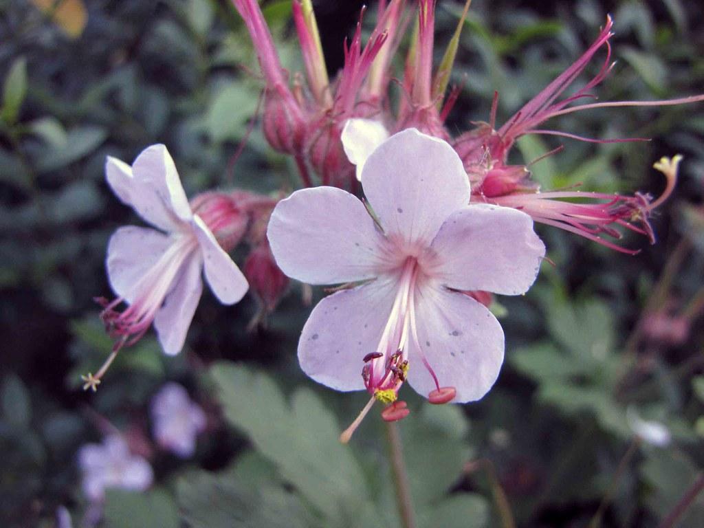 Geranium macrorrhizum фото
