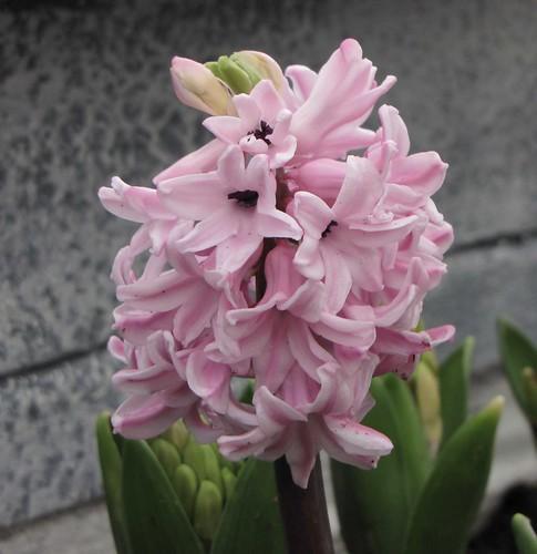 Hyacinthus Pink Pearl фото