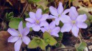 Печеночница - удивительно милое и нежное растение