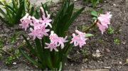 Гиацинт: посадка цветка и уход за ним в открытом грунте