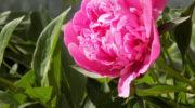 Почему не цветут пионы