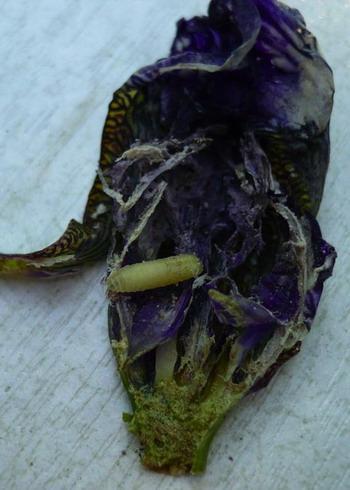 Пораженный ирисовой мухой цветок