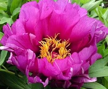 Пион ИТО Morning Lilac