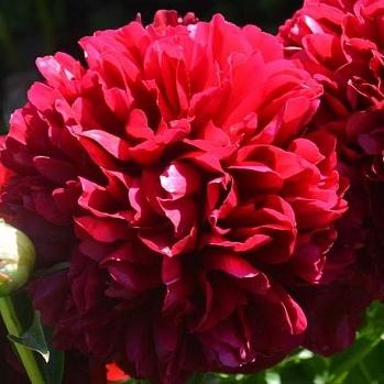 Пион Молочноцветковый Double Red