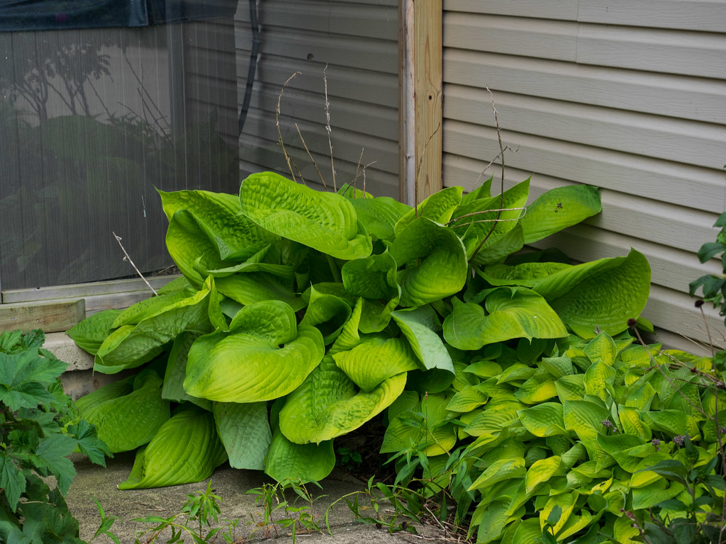 hosta Sum and Substance фото