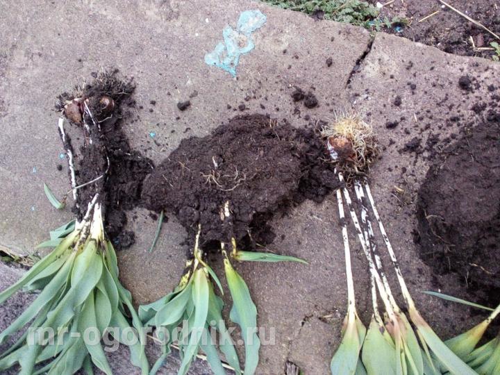 Разделение куста тюльпанов