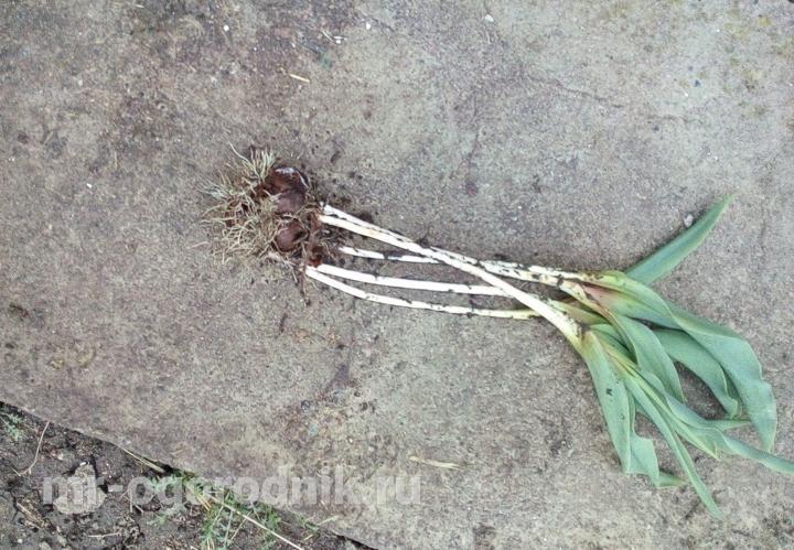 Деленка из 3 луковиц тюльпанов