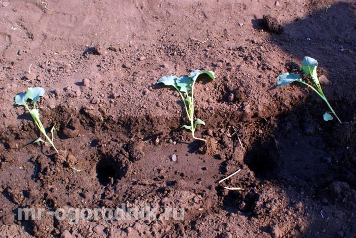 Высадка капустной рассады
