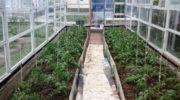 Высадка рассады помидор в теплицу и уход за ней после