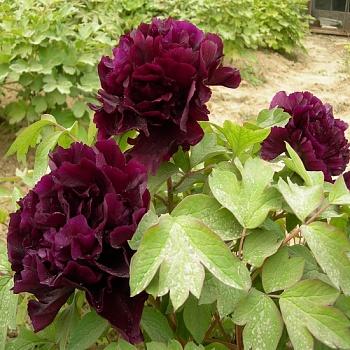 Пион Молочноцветковый Black beauty