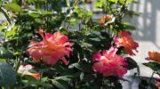 Лунный календарь цветовода на июнь