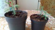 Туя из семян с Алиэкспресс - это возможно