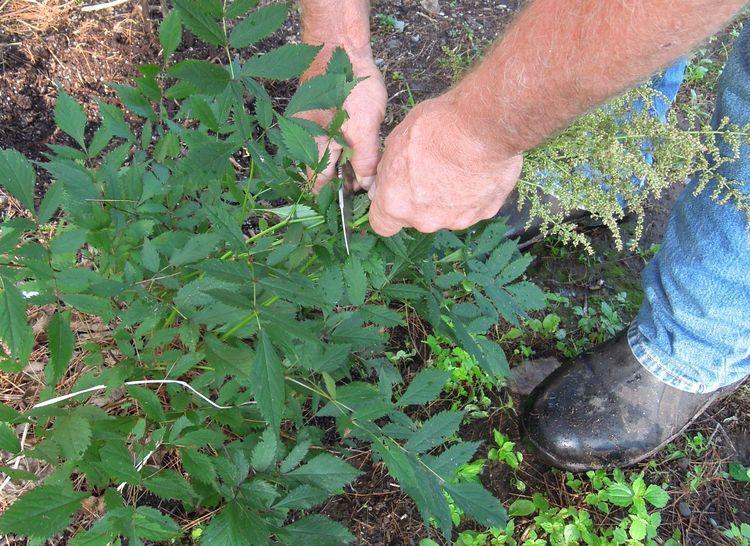 Удаление цветов астильбы перед пересадкой летом