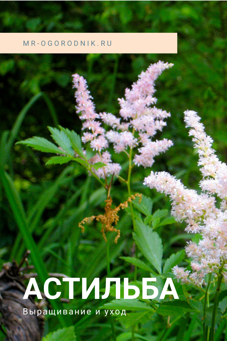 Как выращивать астильбу