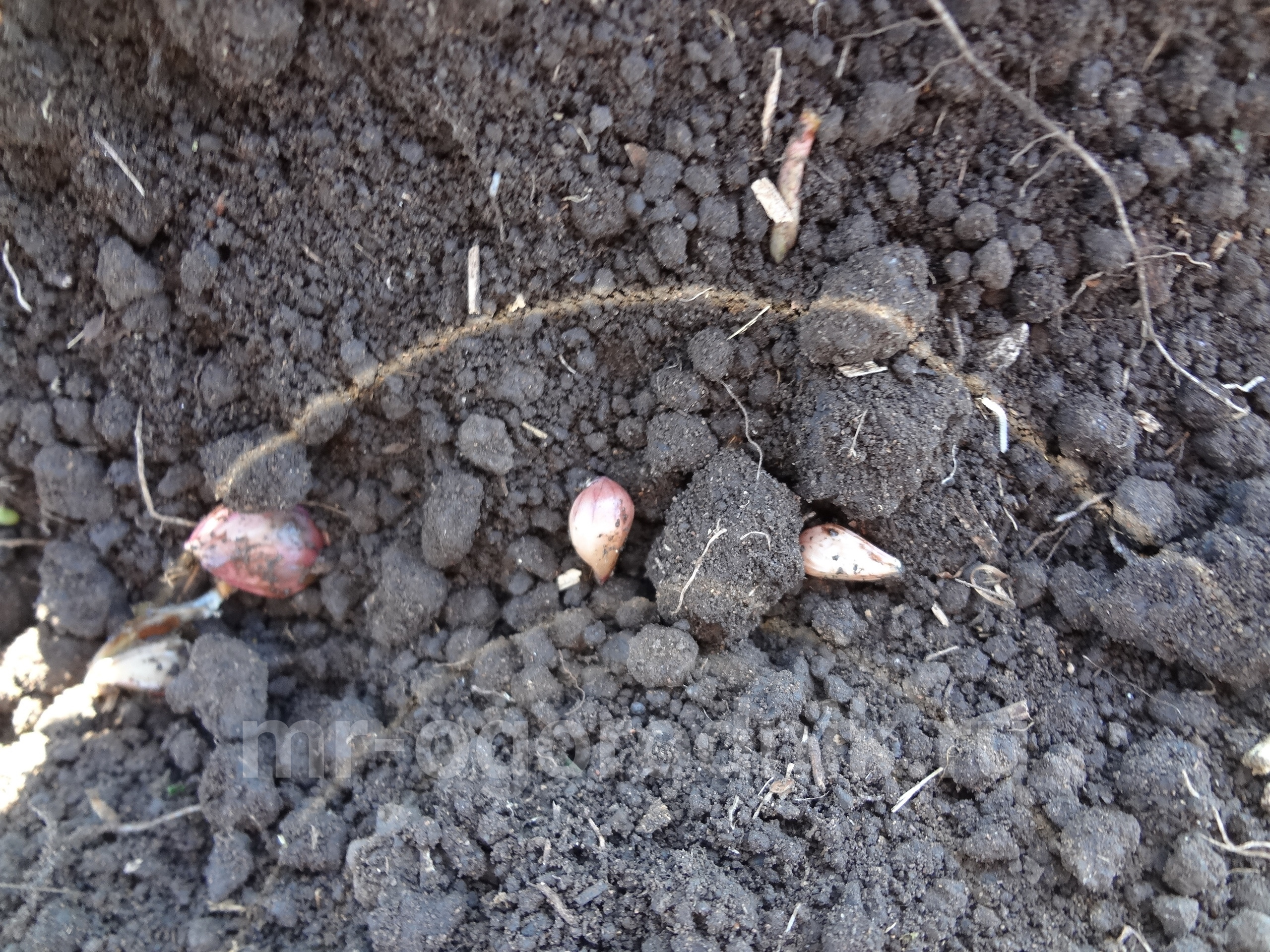 Посадка чесночных бульбочек