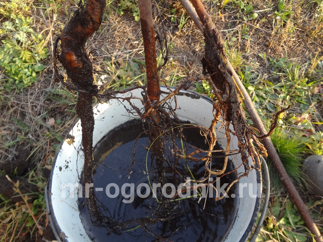 Обработка корней саженца жимолости