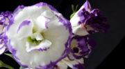 Эустома: как вырастить изящный цветок в домашних условиях